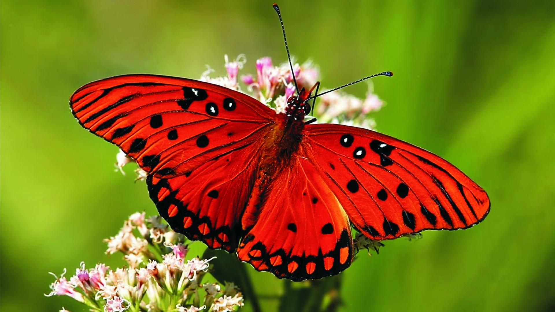 Desktop Hd Butterfly Wallpaper Butterfly Images Hd 1920x1080 Wallpaper Teahub Io