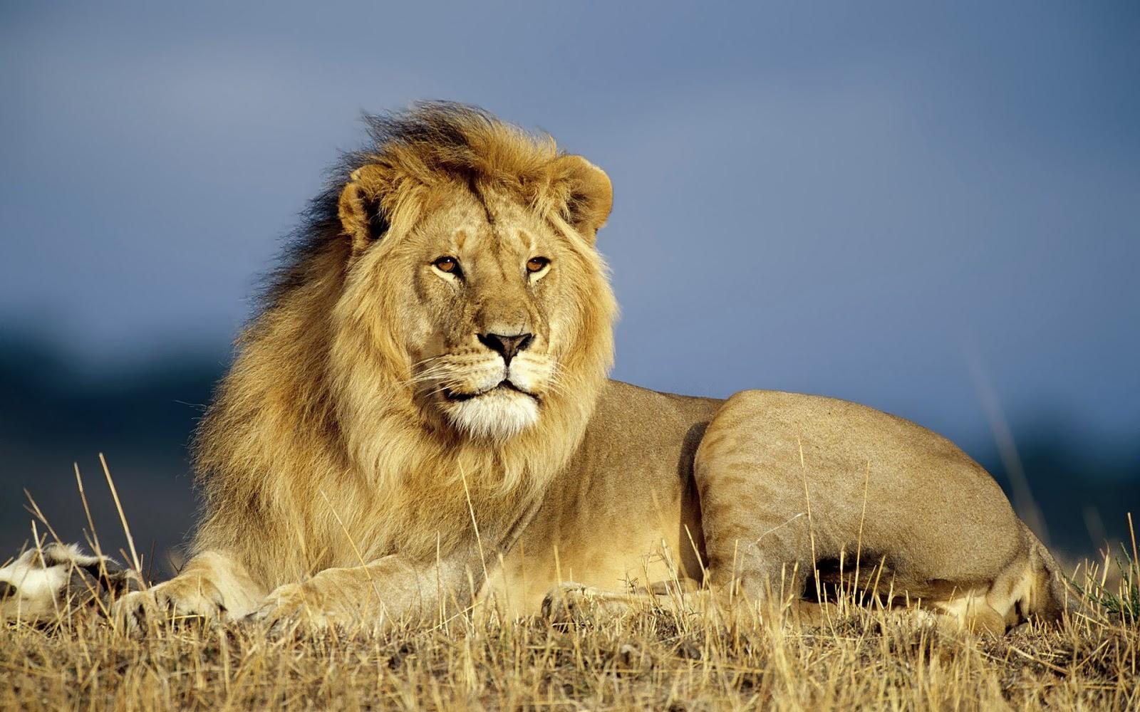 Beautiful Wallpaper Of A Big Lion Animal Wallpaper For Pc 1600x1000 Wallpaper Teahub Io