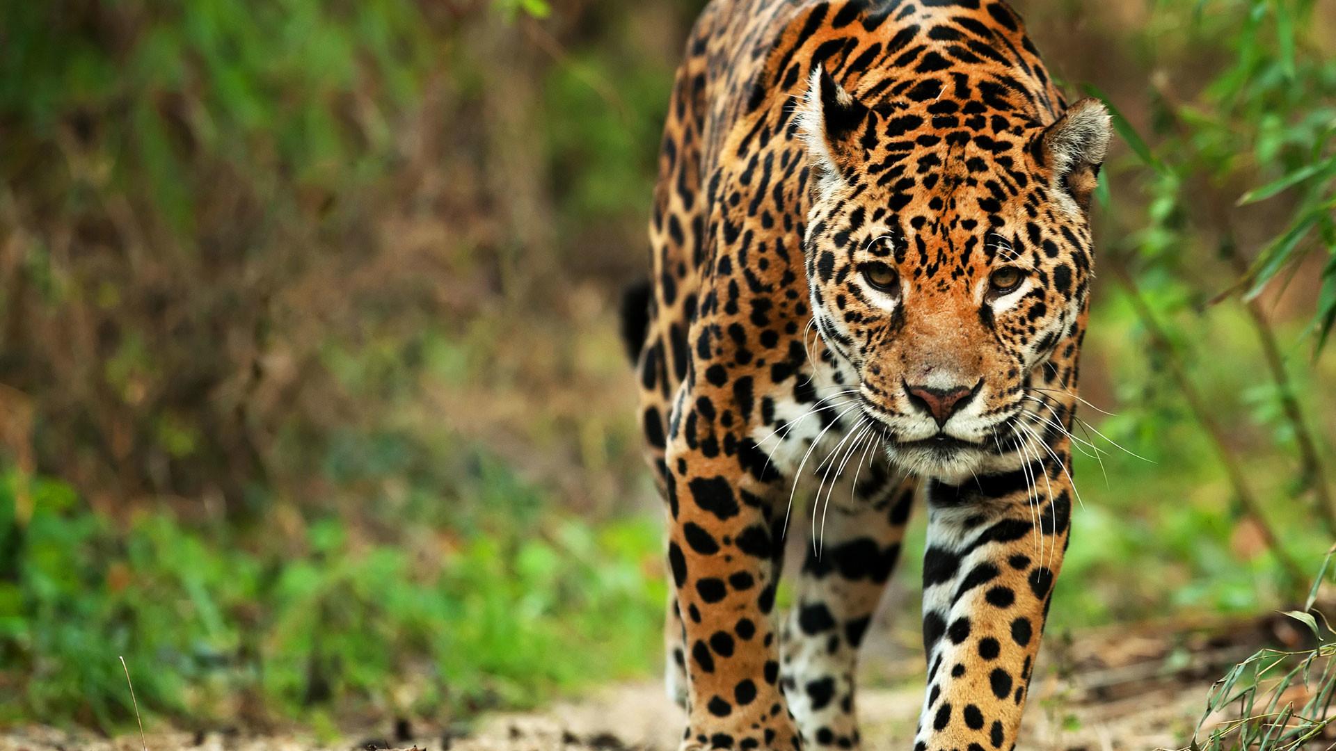 1920x1080, Jaguar - Jaguar Brazilian - HD Wallpaper