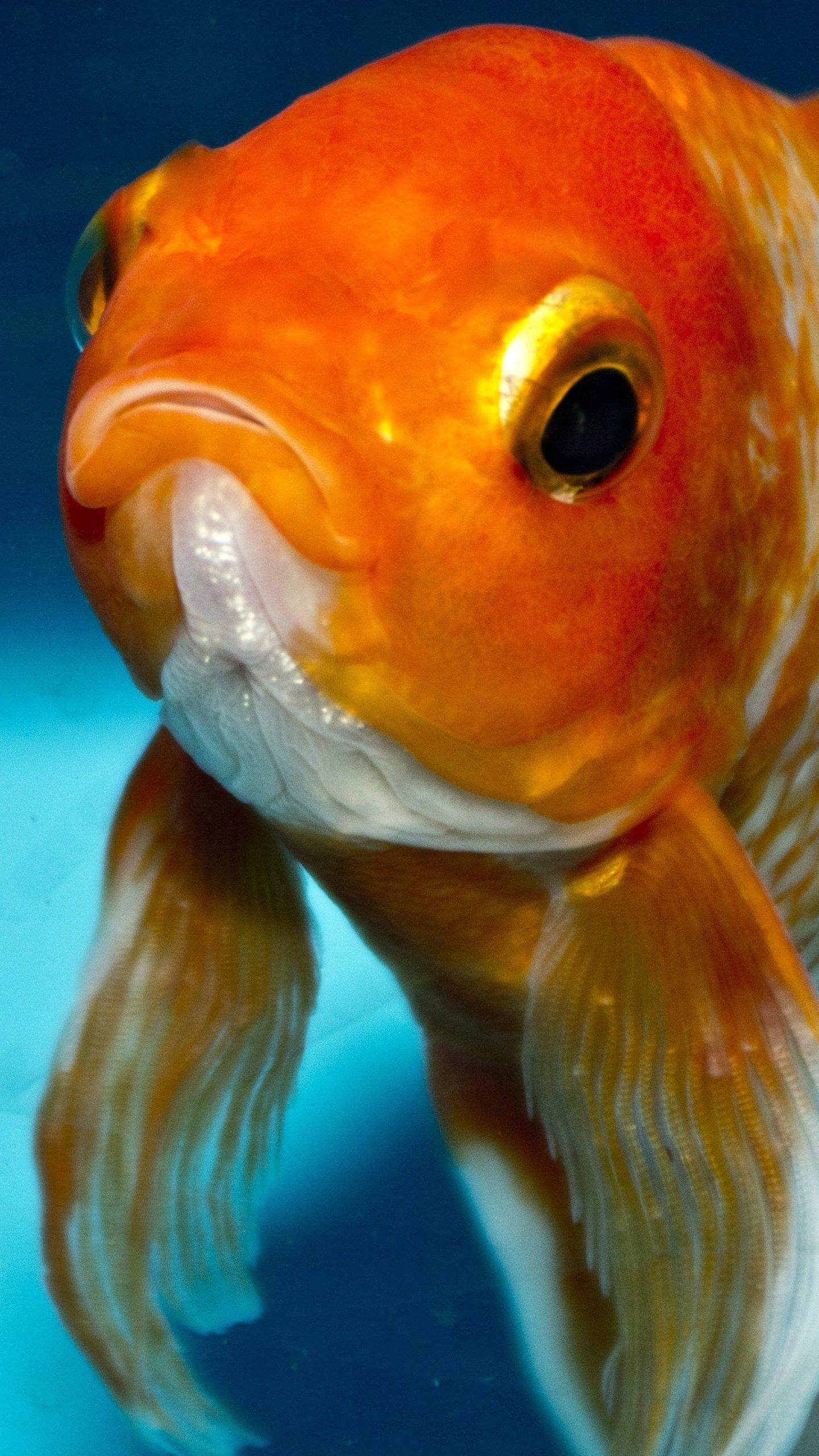 Goldfish Color Palette - HD Wallpaper