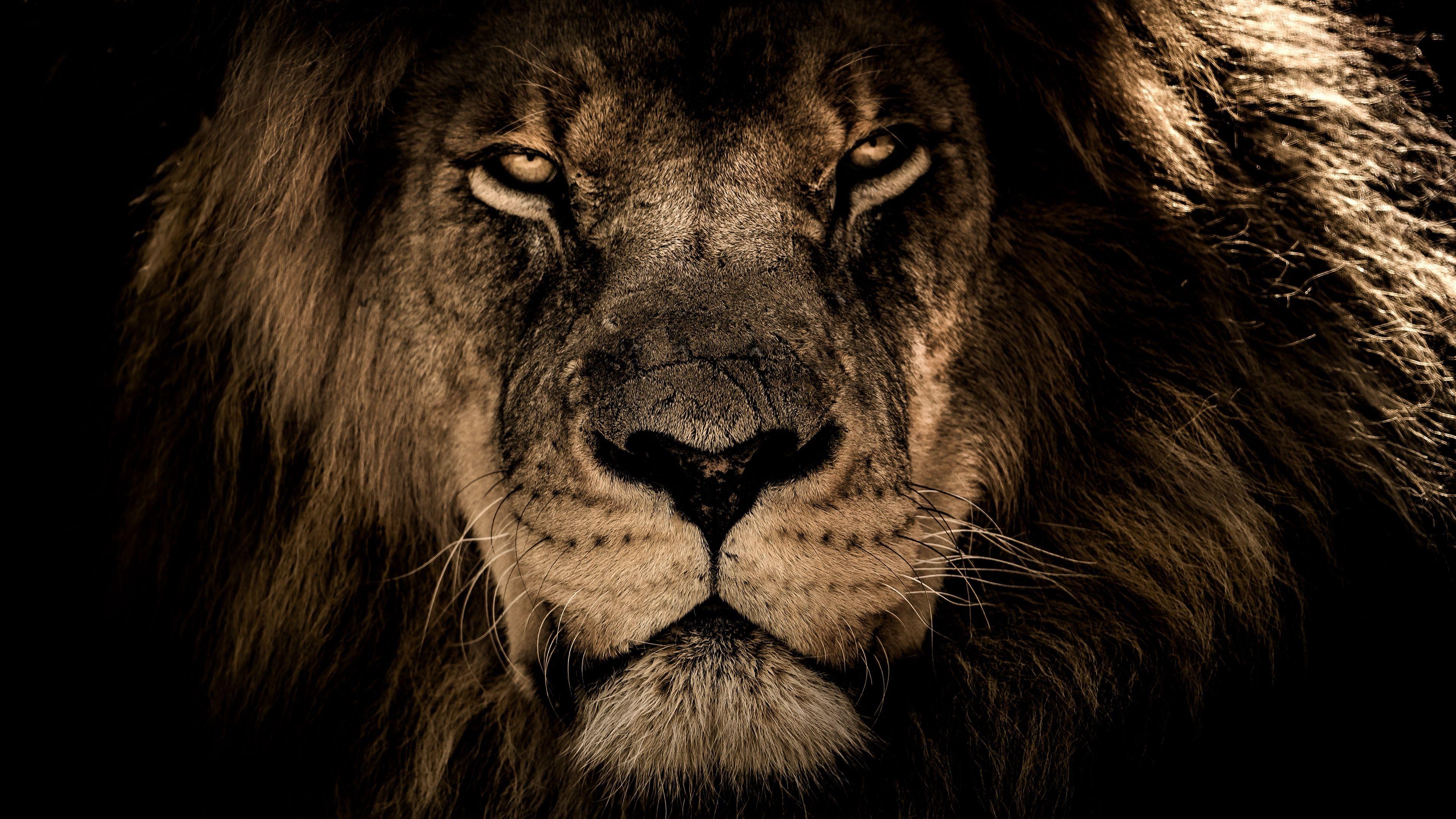 Download Wallpaper Lion, Muzzle, Mane, Predator, Look - Lion Wallpaper 4k - HD Wallpaper