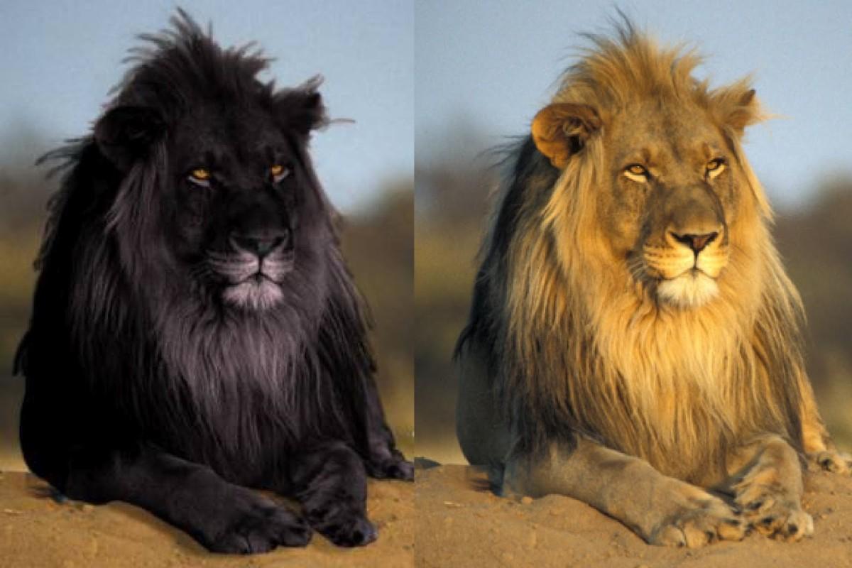 Wonderful Black Lion And Tawny Original Full Hd Wallpaper Rare Black Lion 1200x800 Wallpaper Teahub Io