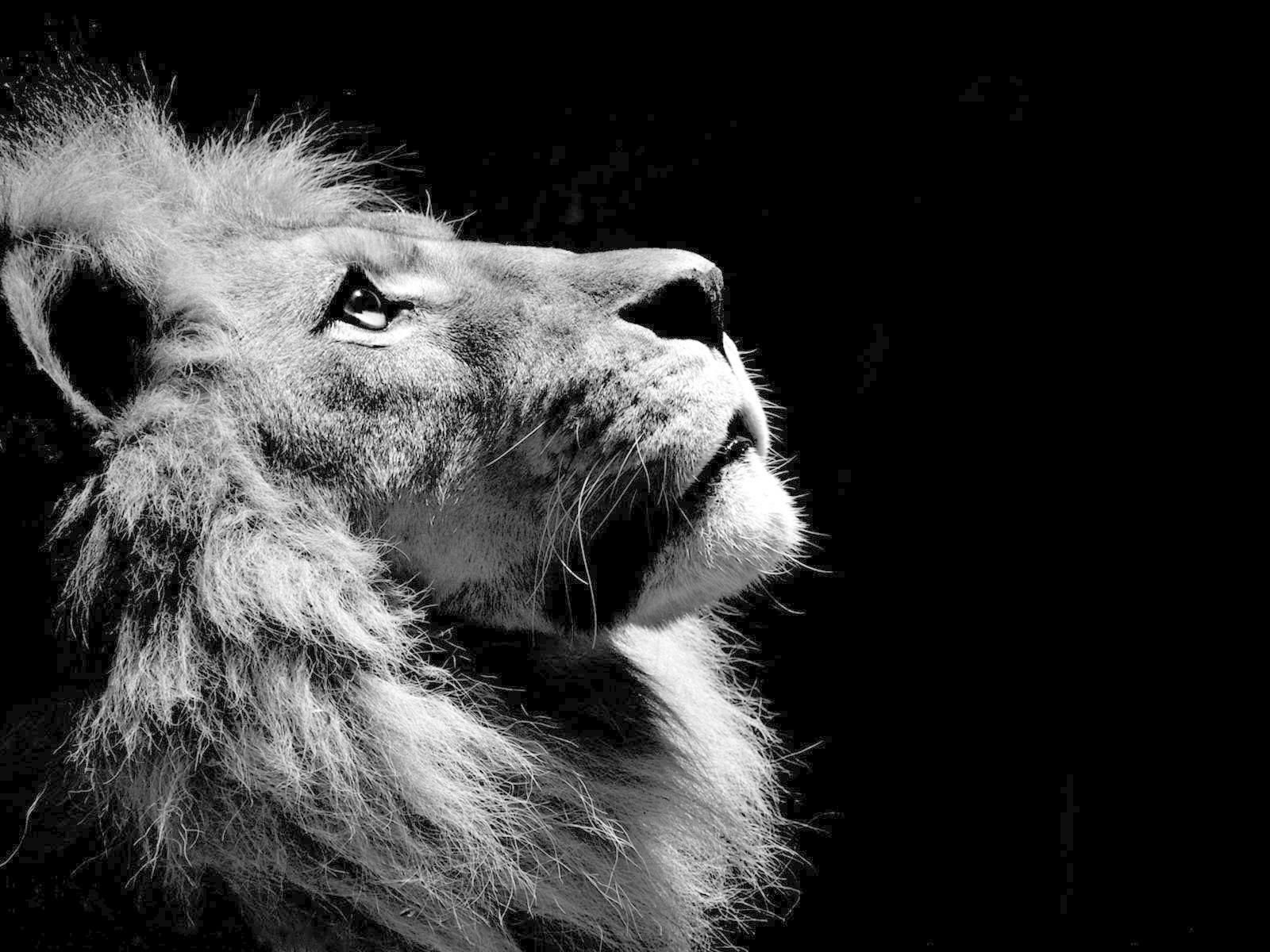 Black White Lion Wallpapers Pictures Tattoos Frauen Lion Wallpaper Black And White 1600x1200 Wallpaper Teahub Io