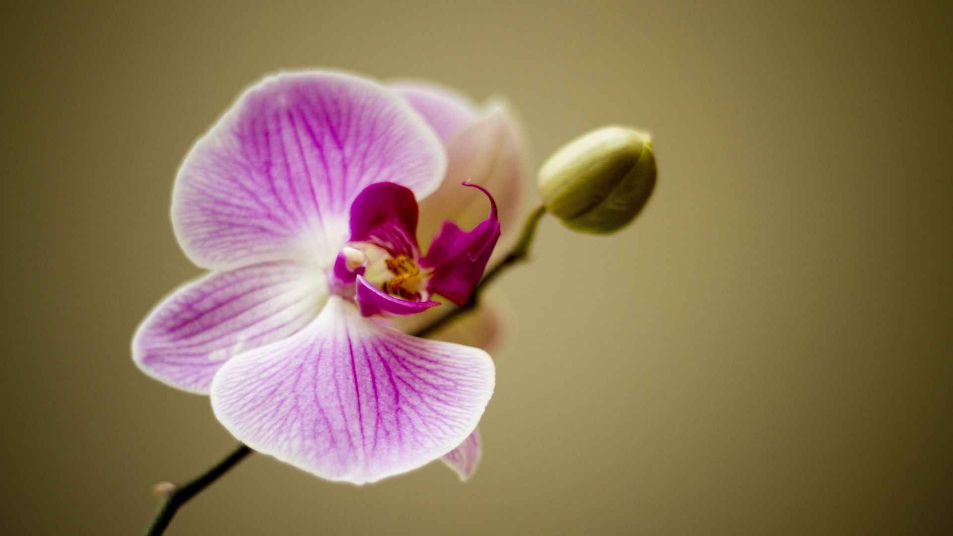 White And Purple Orchid Flower Hd ...
