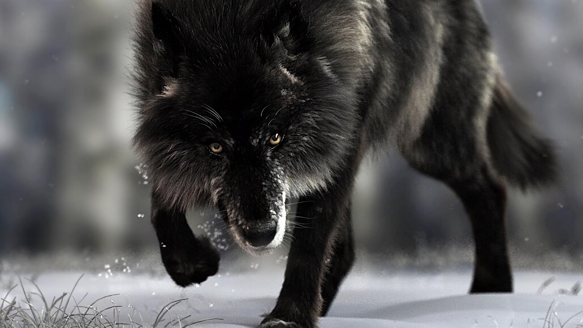 Wallpaper Wolf Predator Black Wildlife Dog Black Wolf 1920x1080 Wallpaper Teahub Io
