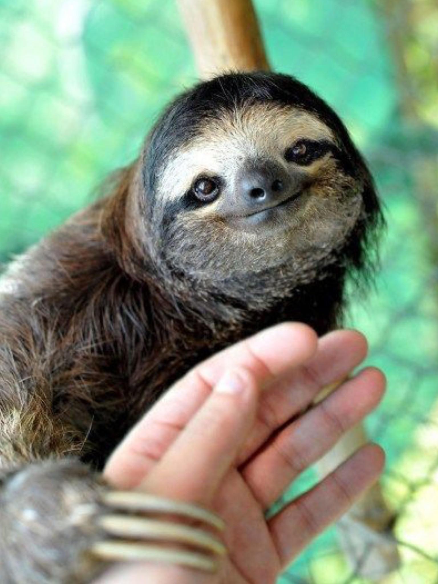 1536x2048 Sloth Wallpapers Fresh 15 Unbearably Cute Costa Rica Sloth 1536x2048 Wallpaper Teahub Io