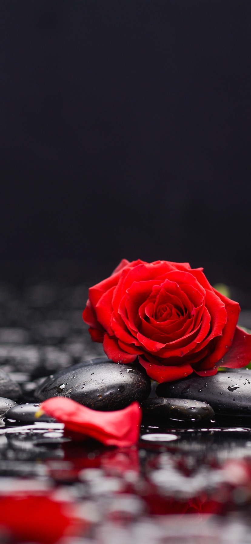 Red Rose Wallpaper For Iphone 828x1792 Wallpaper Teahub Io
