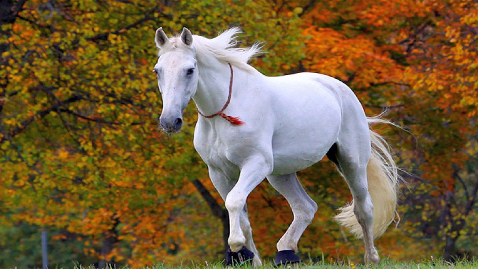 1920x1080 Running Horses Wallpaper Desktop Data Beautiful White Horse Wallpaper Hd 1920x1080 Wallpaper Teahub Io