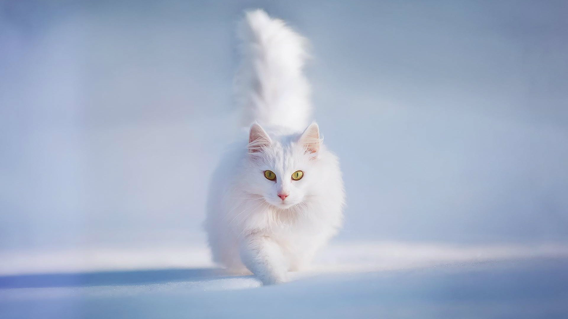 Cute White Cats Hd Wallpapers Amp Beautiful Pictures Beautiful White Cat Hd 1920x1080 Wallpaper Teahub Io