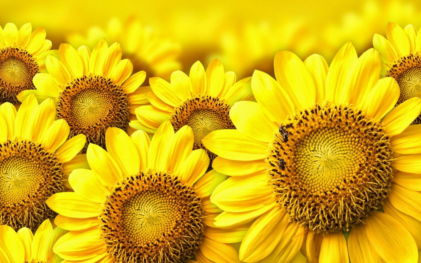 20 Wallpaper Bunga Matahari   Sunflower Yellow Flower Background ...