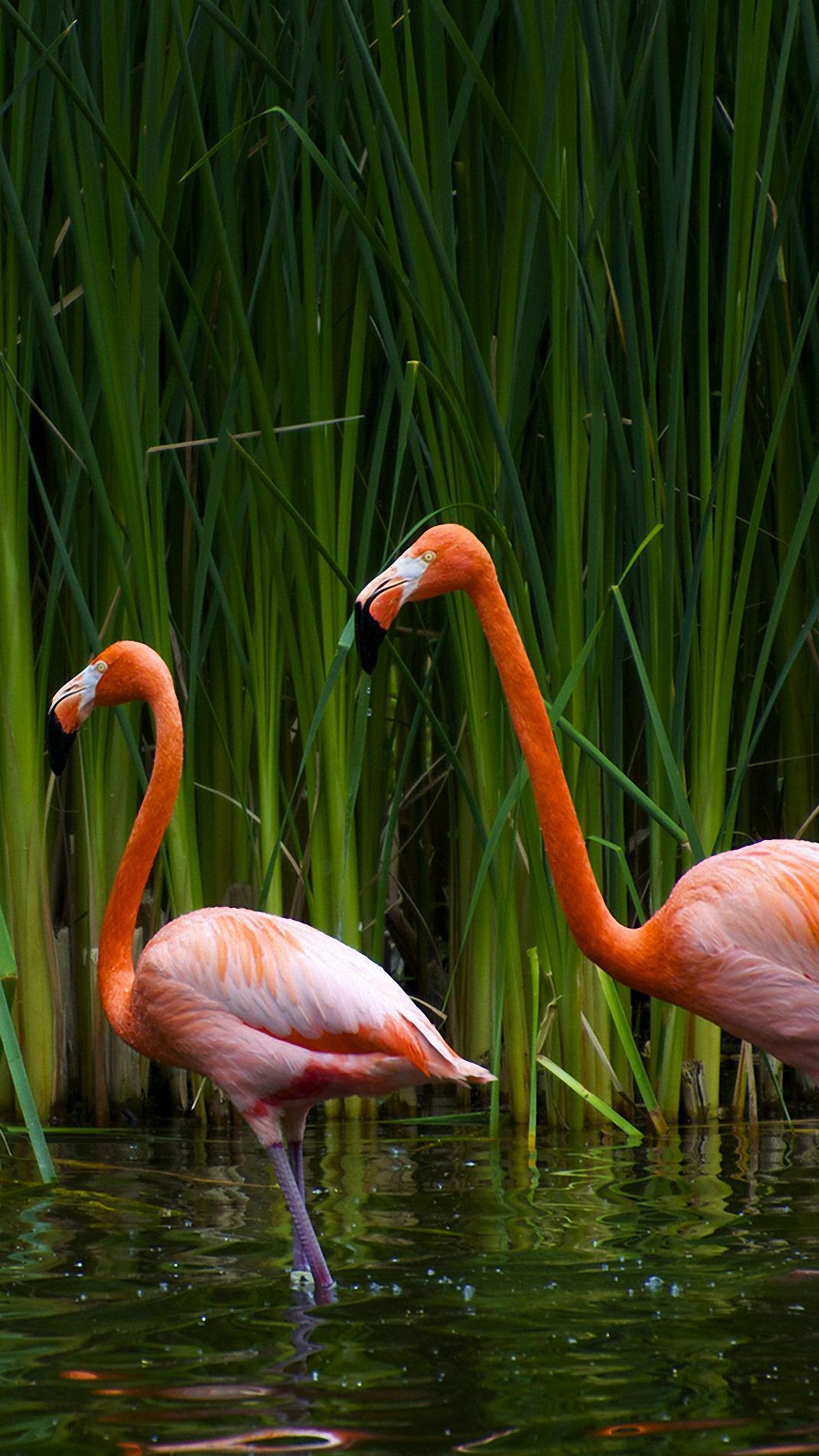 Hd Flamingos Grass Galaxy S6 Edge Wallpapers Flamingos 2560 X 1080 1440x2560 Wallpaper Teahub Io