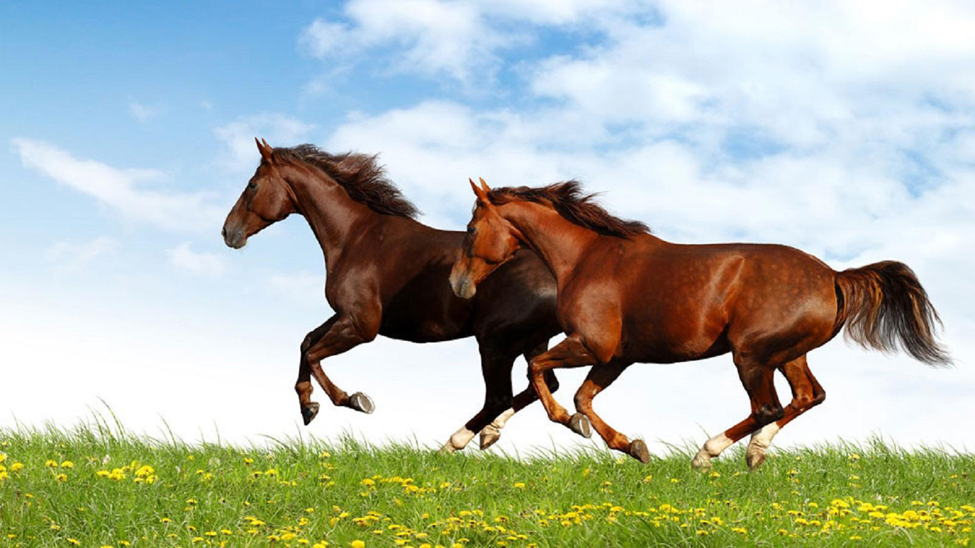 Horses Galloping 1920x1080 Wallpaper Teahub Io