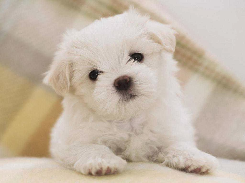 Cute Wallpapers For Android Free Download - Cute White Poodle Puppies - HD Wallpaper