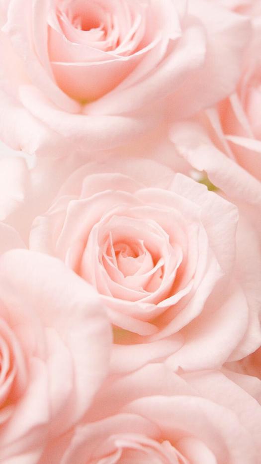 Light Pink Roses Aesthetic - HD Wallpaper