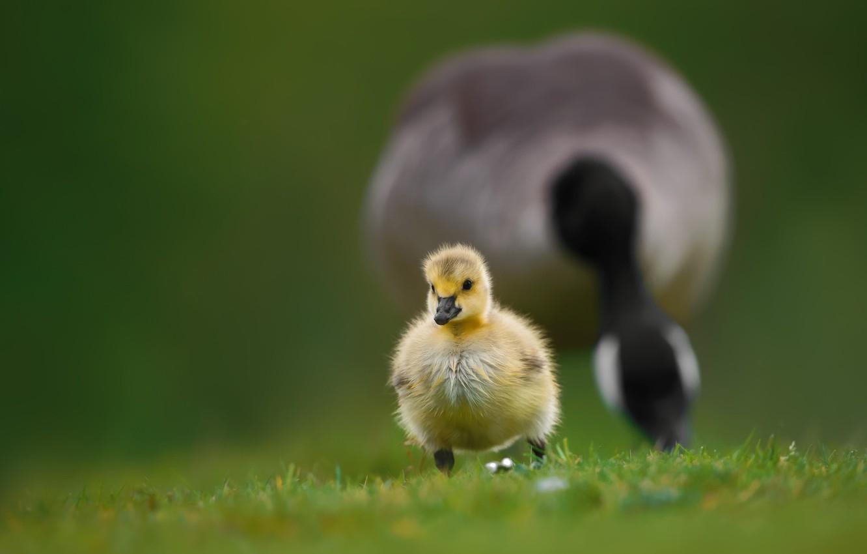 Photo Wallpaper Grass, Bird, Baby, Walk, Chick, Goose, - Duck - HD Wallpaper