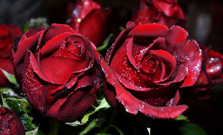 Red Rose Flowers Wallpaper Flower Free Download Hd - Rose Flower Flower Images Hd Download - HD Wallpaper