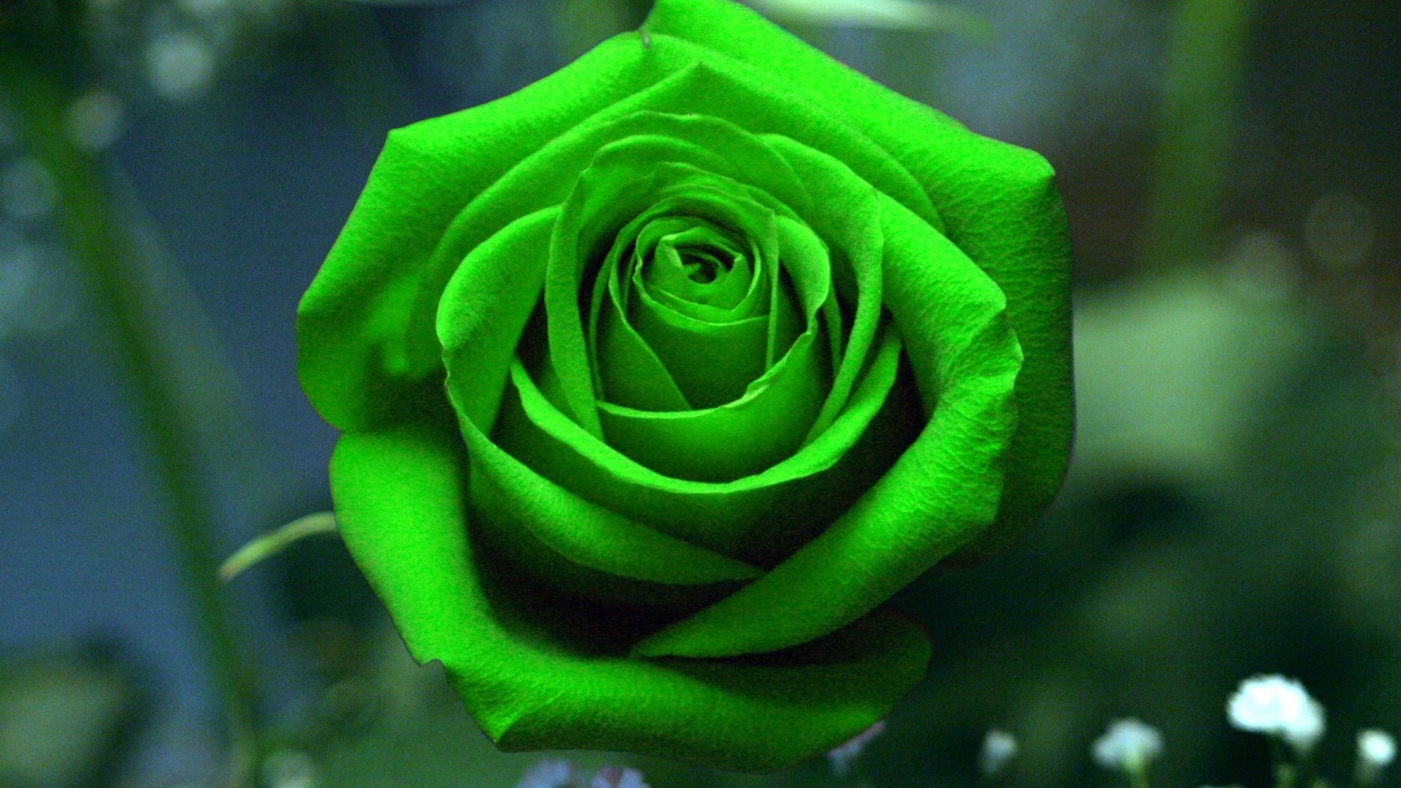 Nature Pictures Flowers Rose - HD Wallpaper