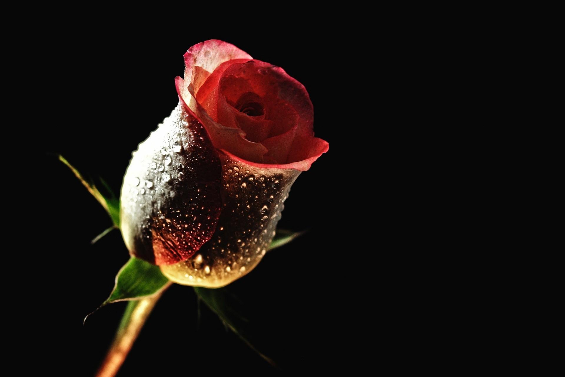 Rose Love Wallpaper Good Night   Data-src /w/full/5/6/0/431085 - High Definition Wallpapers Of Roses - HD Wallpaper