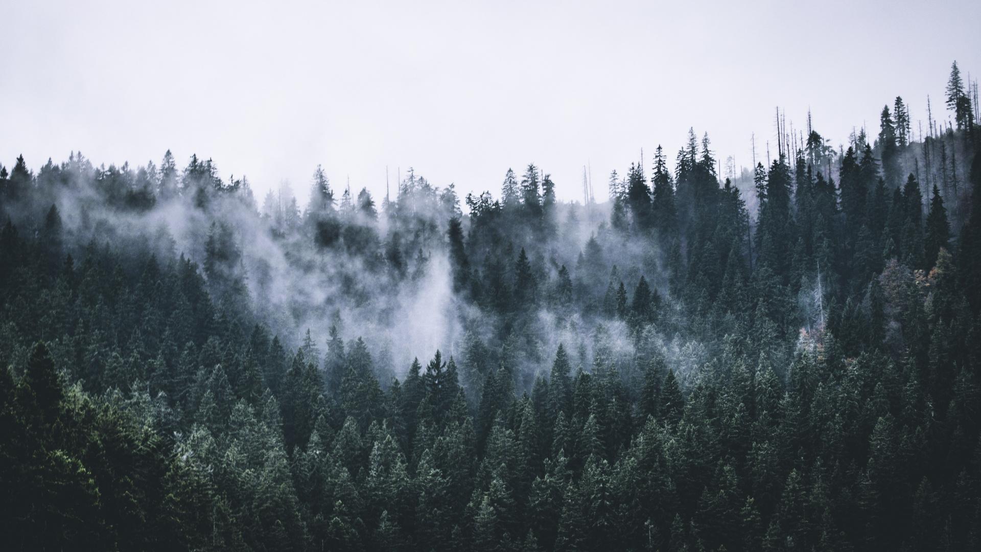 Green, Forest, Fog, Nature, Trees, Dawn, Wallpaper - Iphone Wallpaper Forest Fog - HD Wallpaper