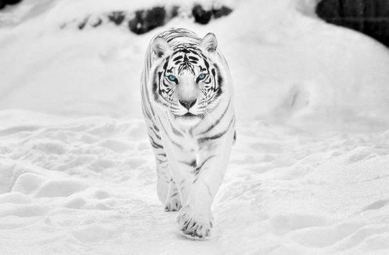 Those Cute Animals Sharenator White Tiger Wallpaper Hd 3000x1972 Wallpaper Teahub Io