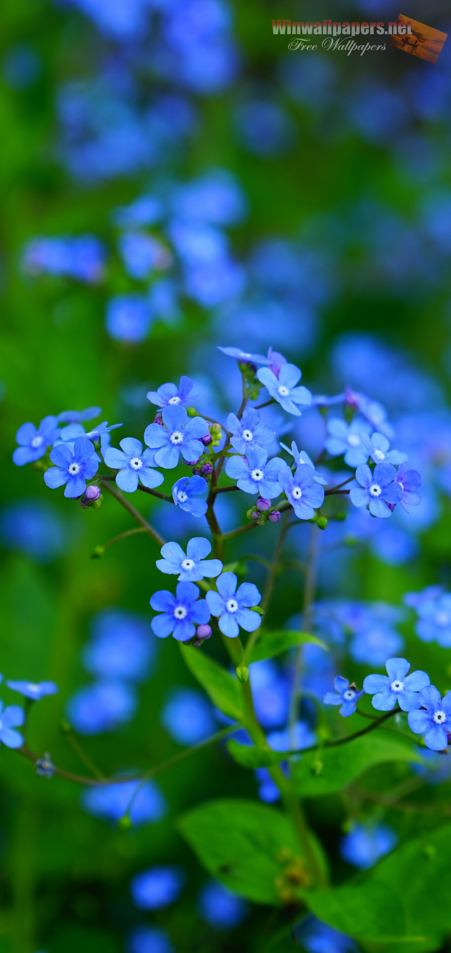 Flowers Background For Galaxy S10 Forget Me Not Hd 1440x3040 Wallpaper Teahub Io
