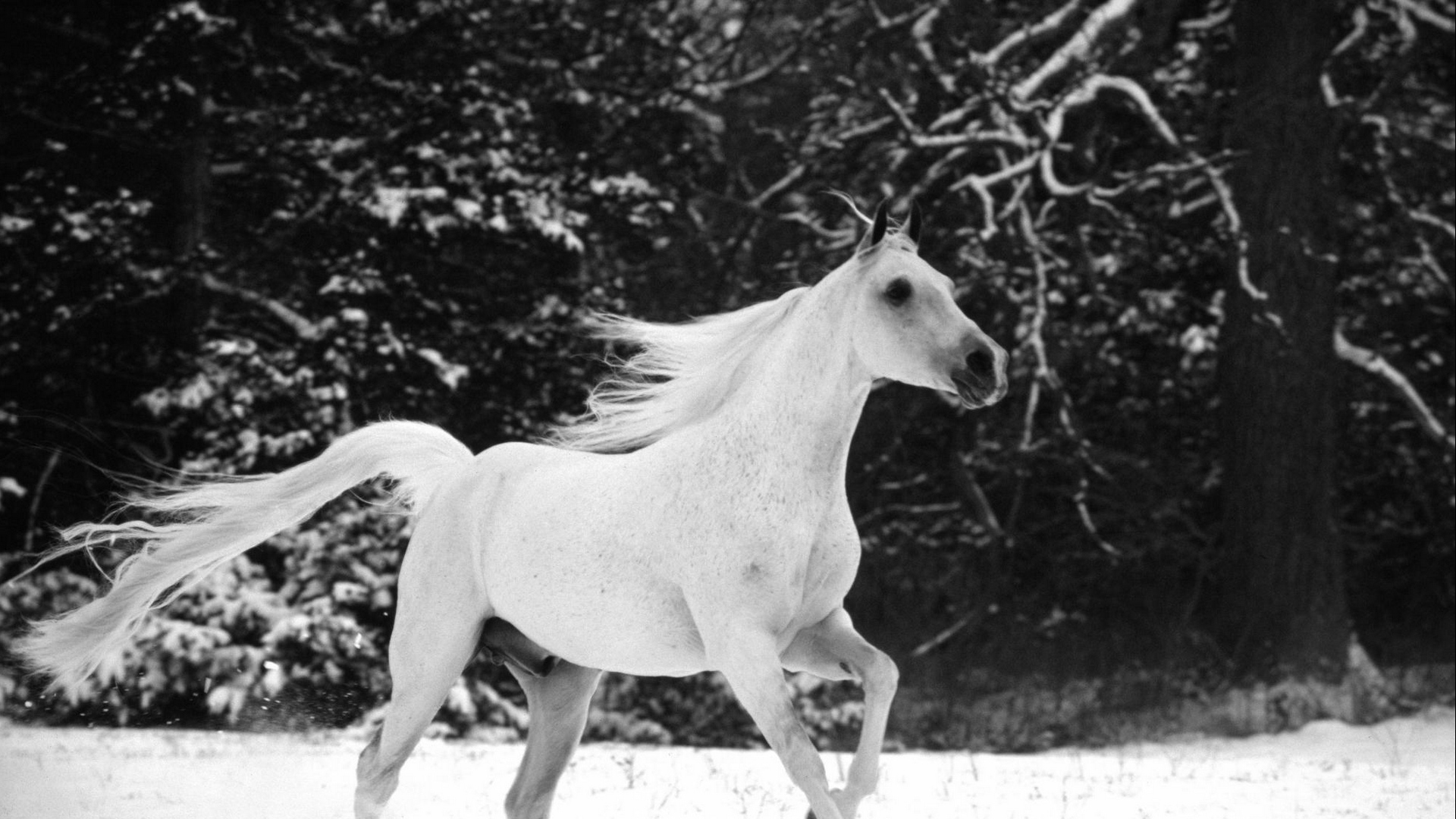 Wallpaper Horse Jumping Mane Beautiful Black White Most Beautiful White Horse In The World 1920x1080 Wallpaper Teahub Io