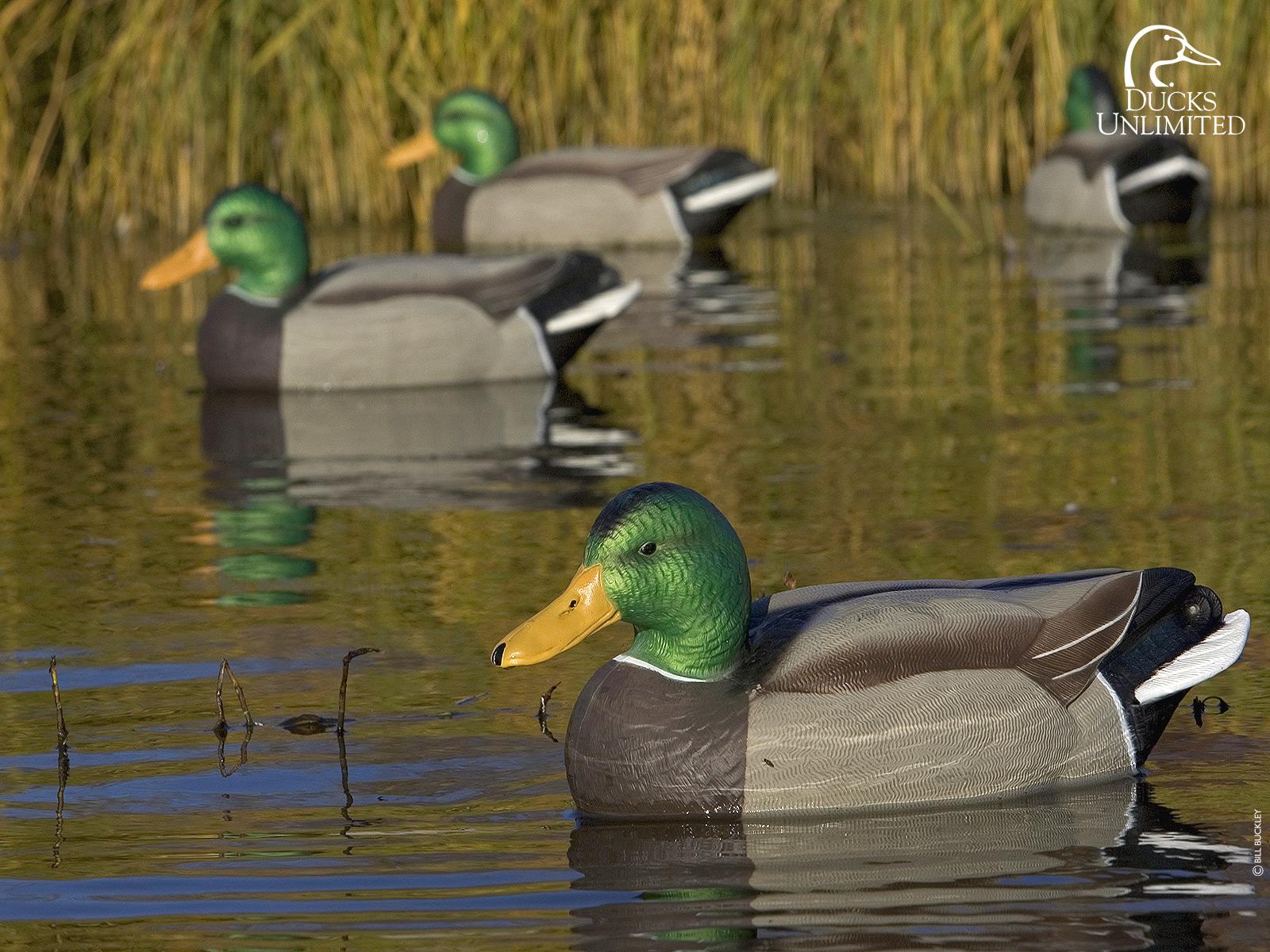 Ducks Hunted 4k Screensaver - HD Wallpaper
