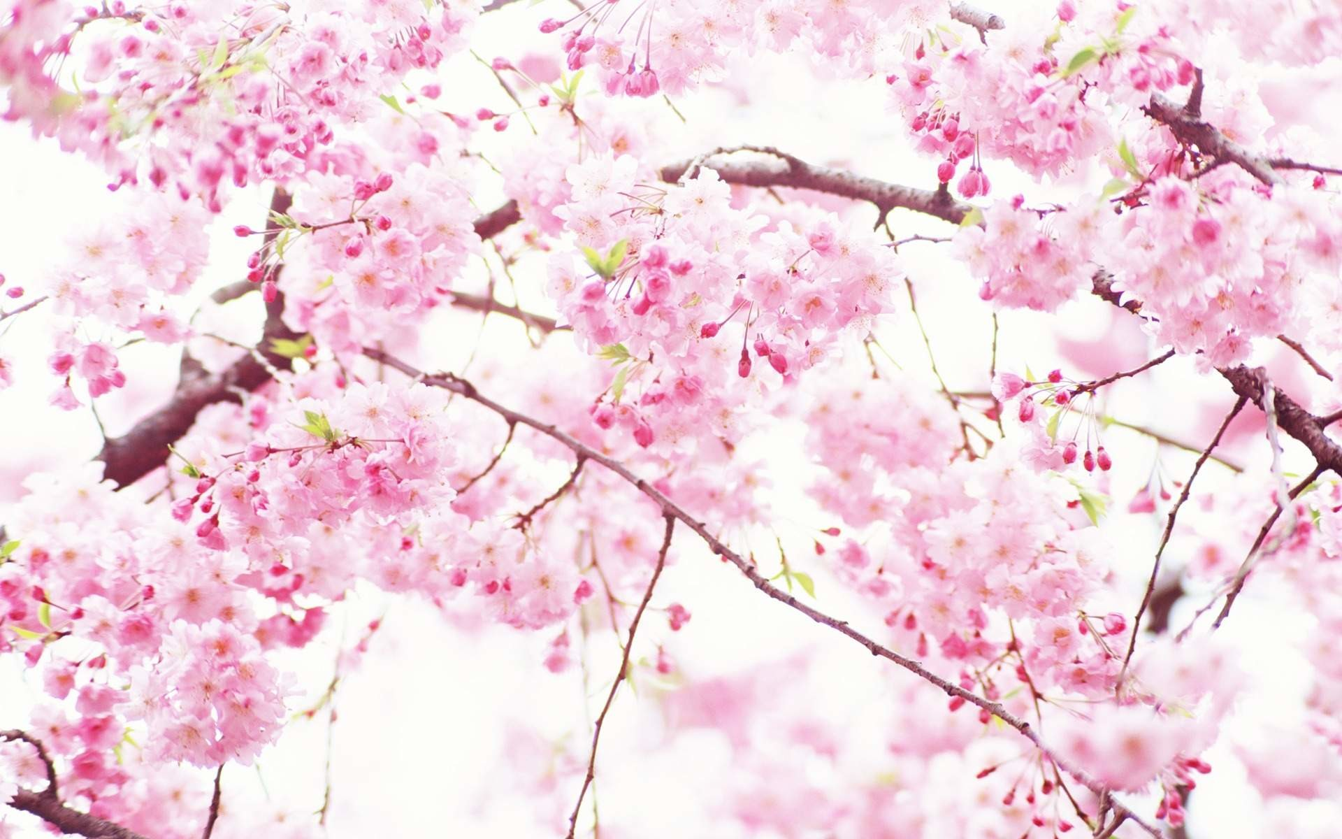 1920x1200, 40 Beautiful Flower Wallpapers Free To Download - Pink And White Blossom - HD Wallpaper