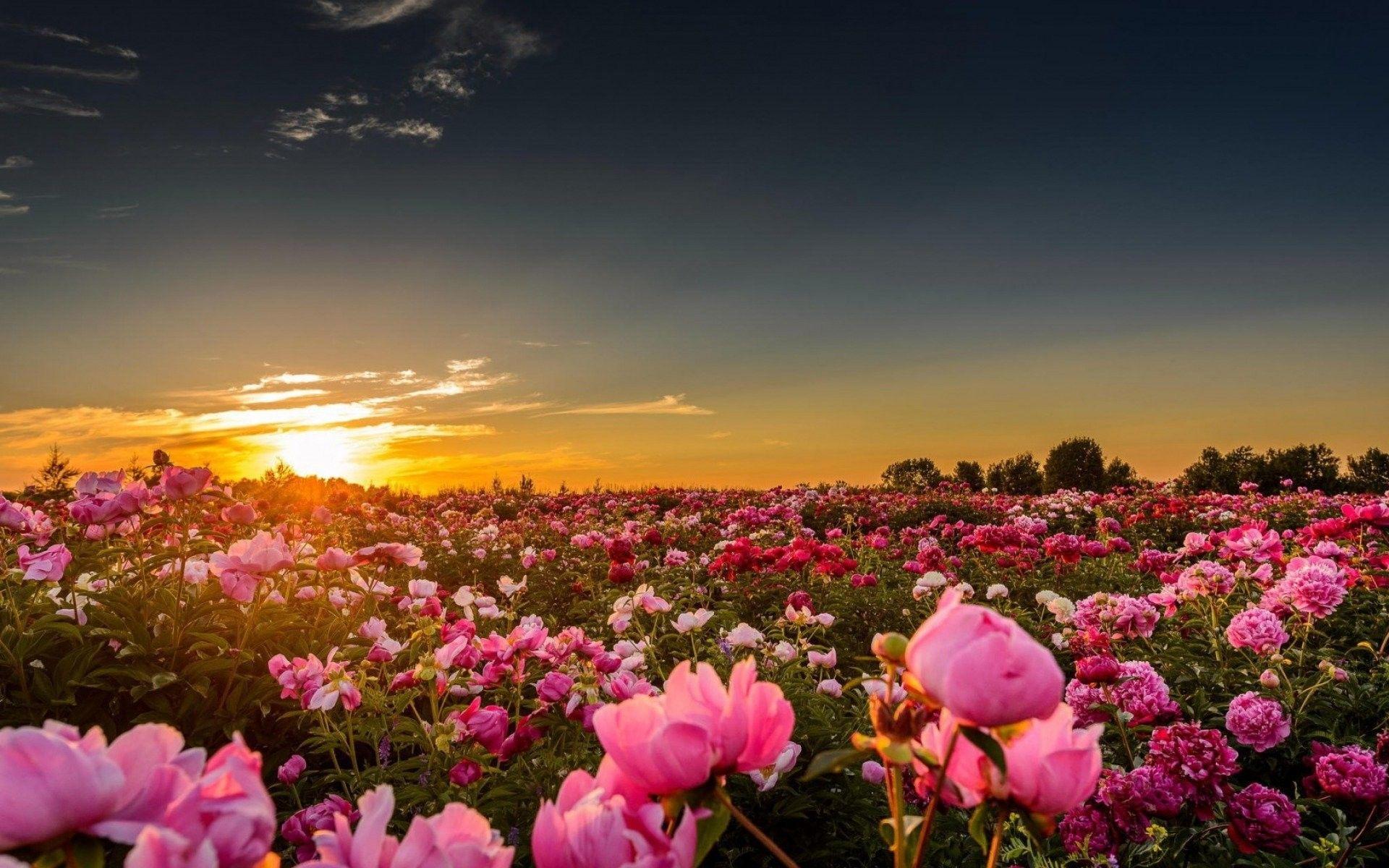 Sunset Peonies Pink Flower Pc Wallpaper Hd Nature Download - Flower Nature Wallpaper Hd For Pc - HD Wallpaper