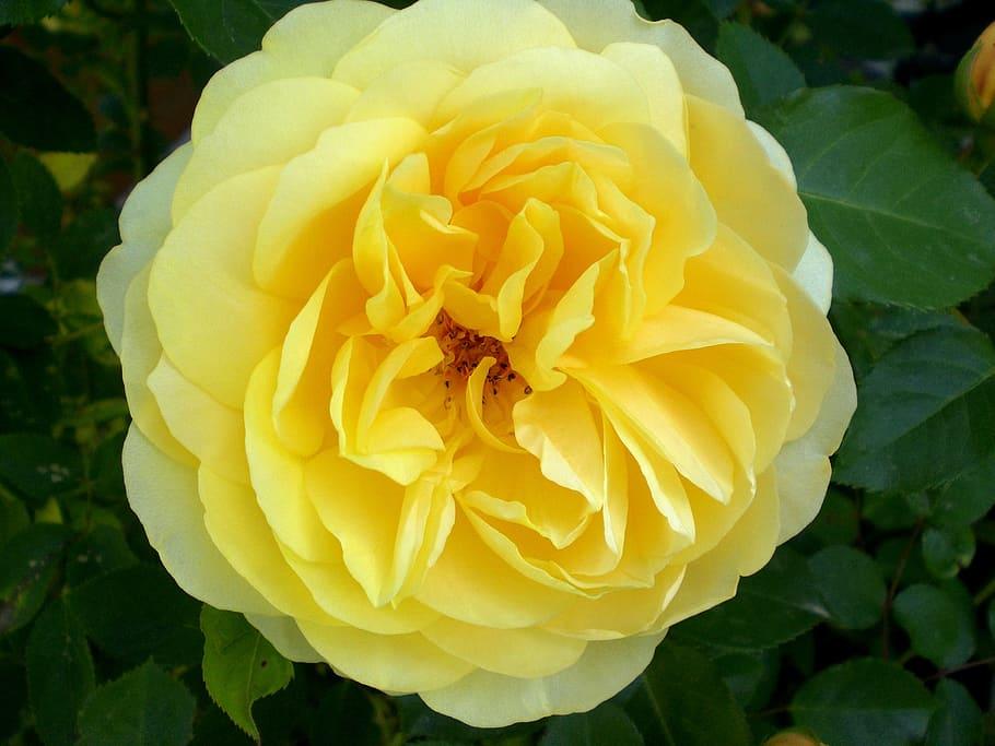 Rose, Roses, Fragrance, Beautiful, Rose Bloom, Yellow, - Rose - HD Wallpaper
