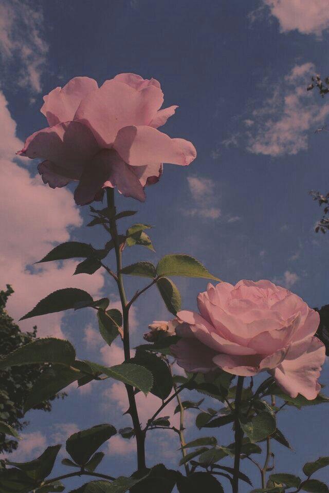 Rose Aesthetic Background - HD Wallpaper