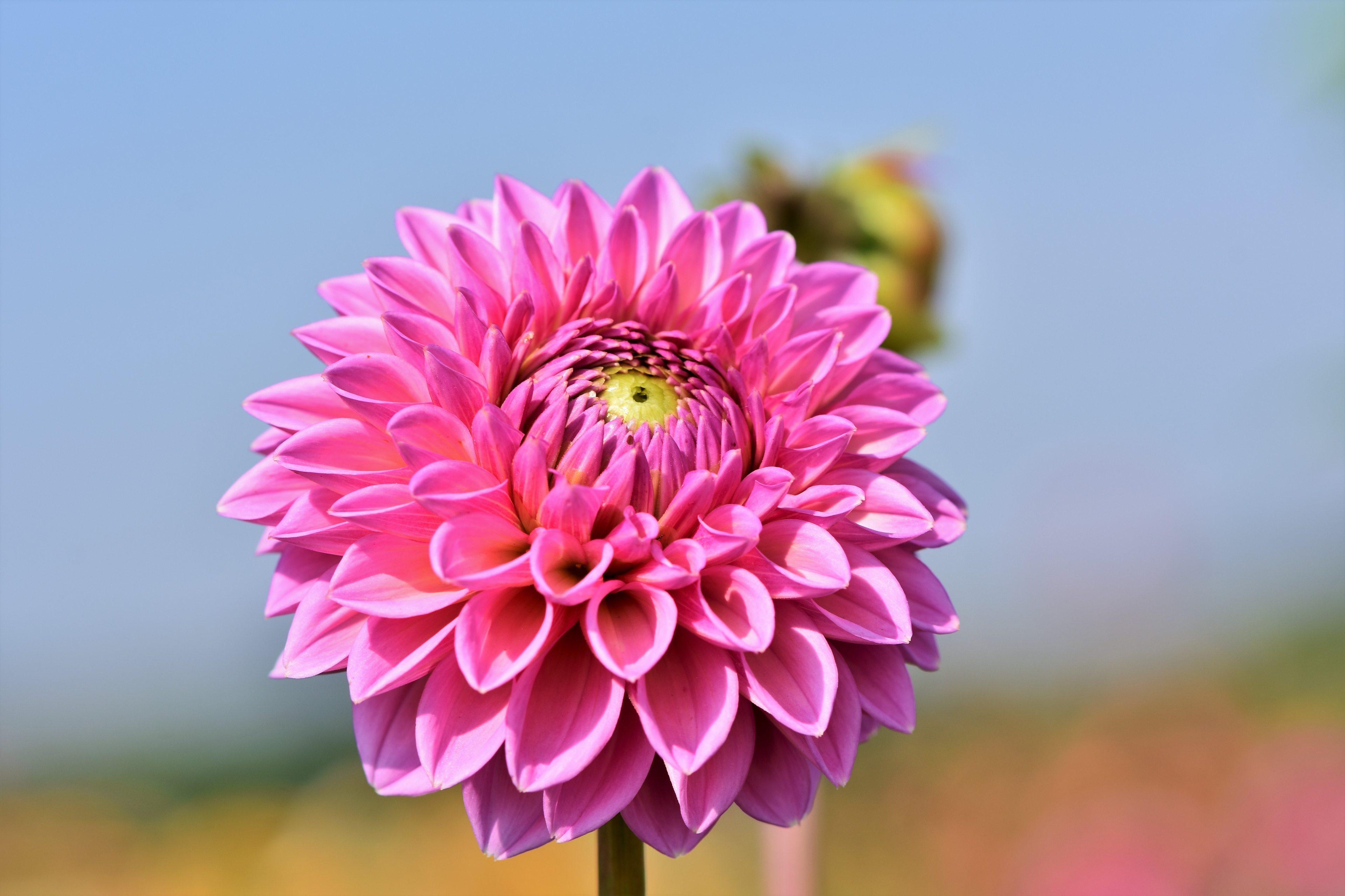 006 Best Dahlia Flower Wallpaper 4k Resolution Best Flower Wallpaper Hd 4k 3840x2560 Wallpaper Teahub Io