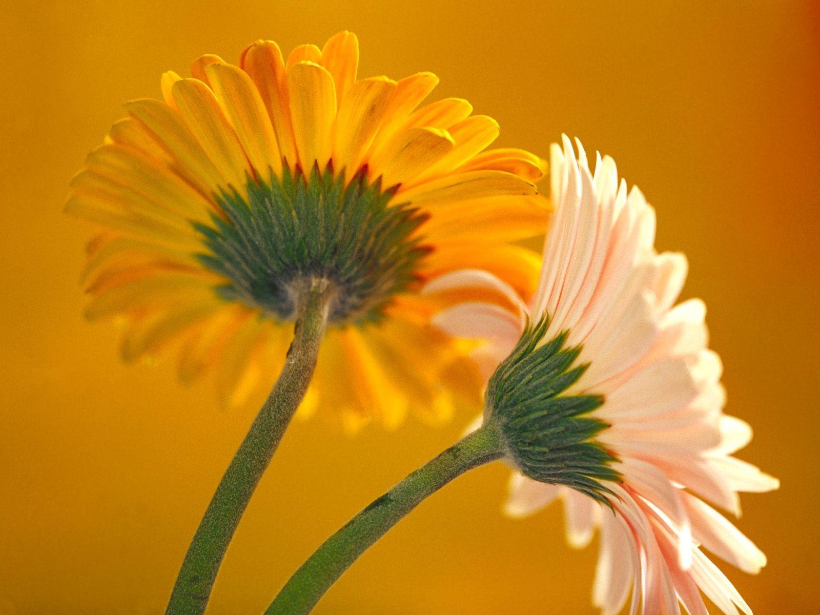 Beautiful Orange And Yellow Flower Hd Desktop Background - Desktop Background Beautiful Flowers - HD Wallpaper