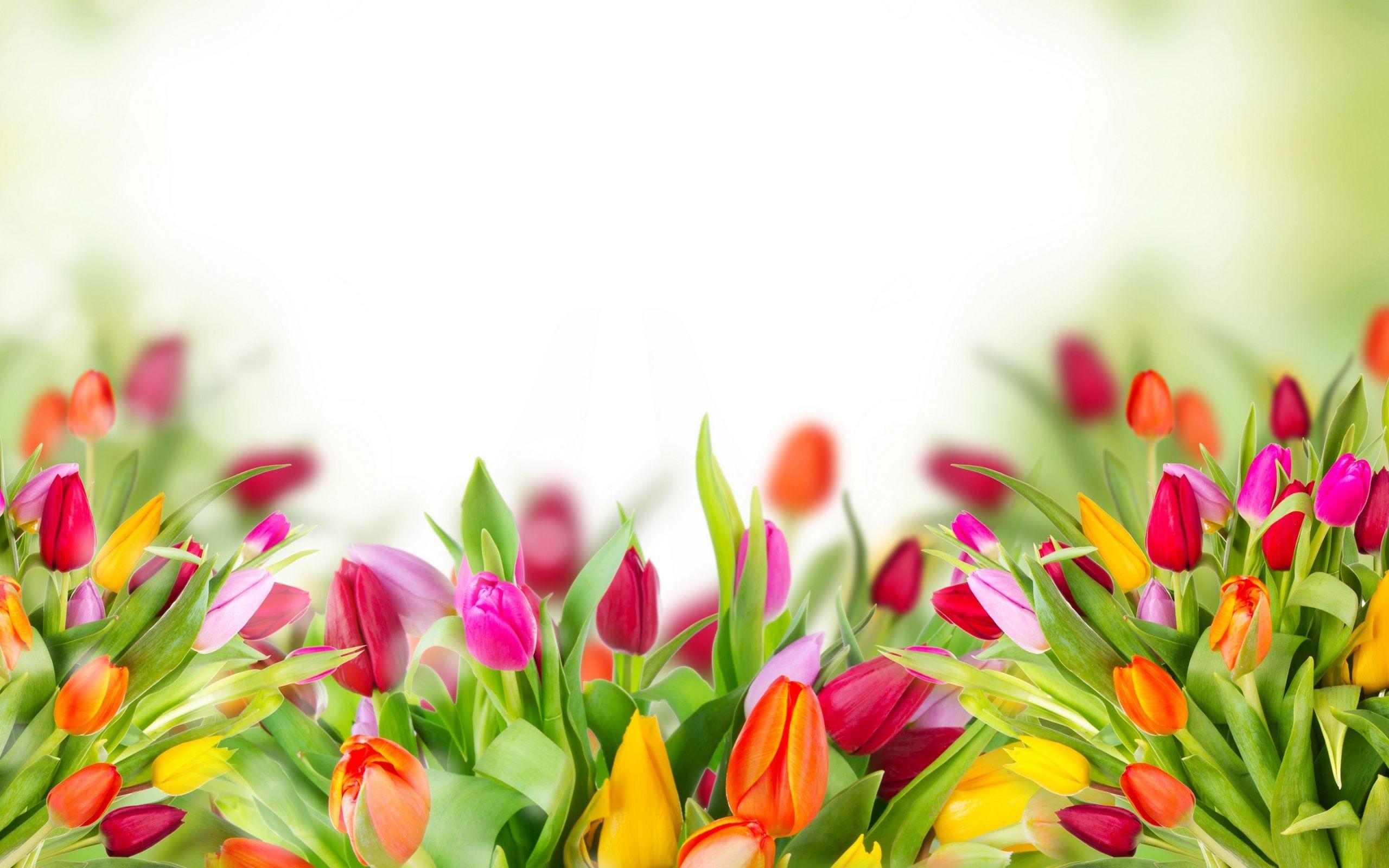 2560x1600, Tulip Flower Wallpapers For Desktop Background - Tulip Flower Wallpapers For Desktop Background - HD Wallpaper