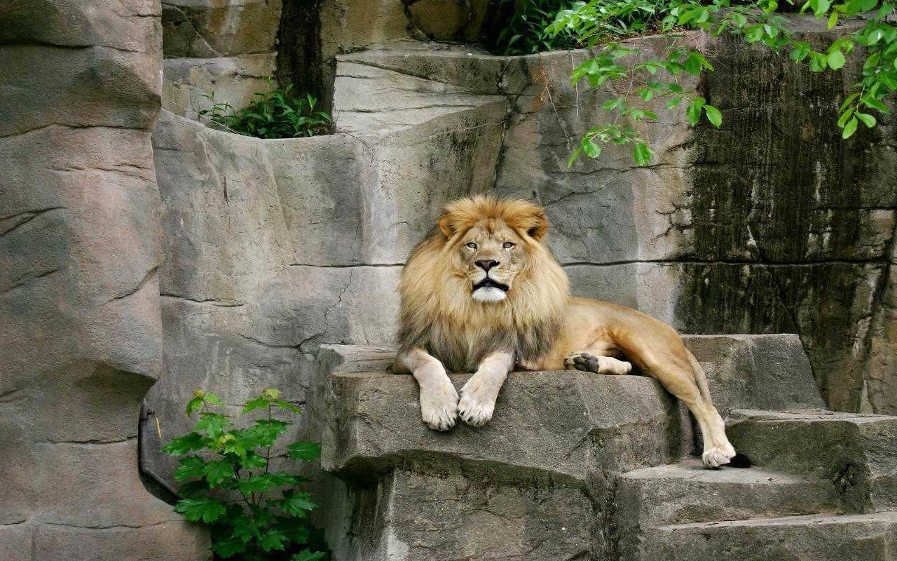 Binatang Widescreen Wallpaper   Lion Sitting On Rock   20x20 ...