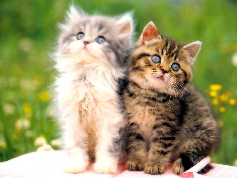 Kucing Yang Paling Comel - HD Wallpaper
