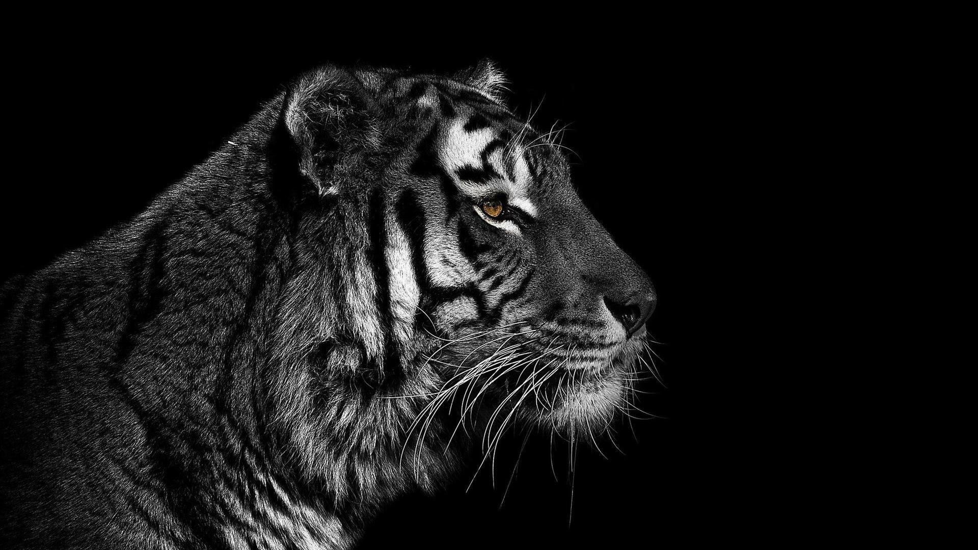 Tiger Hd Wallpaper Tiger Data Src Tiger Black And White 1920x1080 Wallpaper Teahub Io