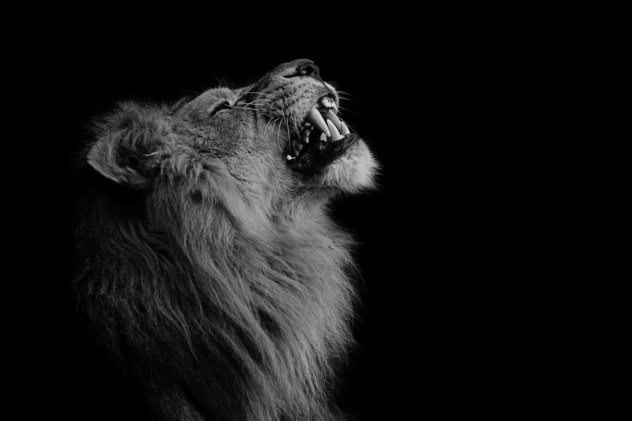 Photography Lion Animals Wallpaper And Background Lion Wallpaper Black 2560x1708 Wallpaper Teahub Io