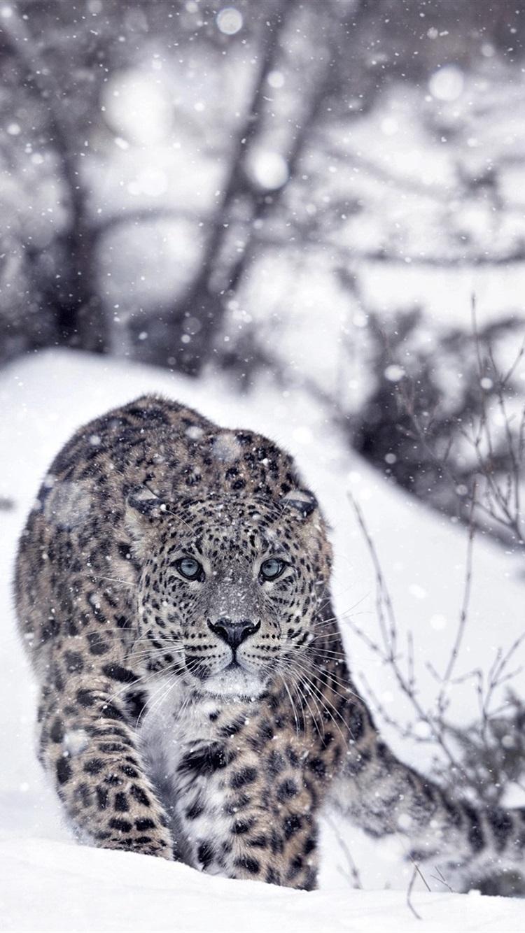 Snow Leopard Wallpaper Iphone 750x1334 Wallpaper Teahub Io