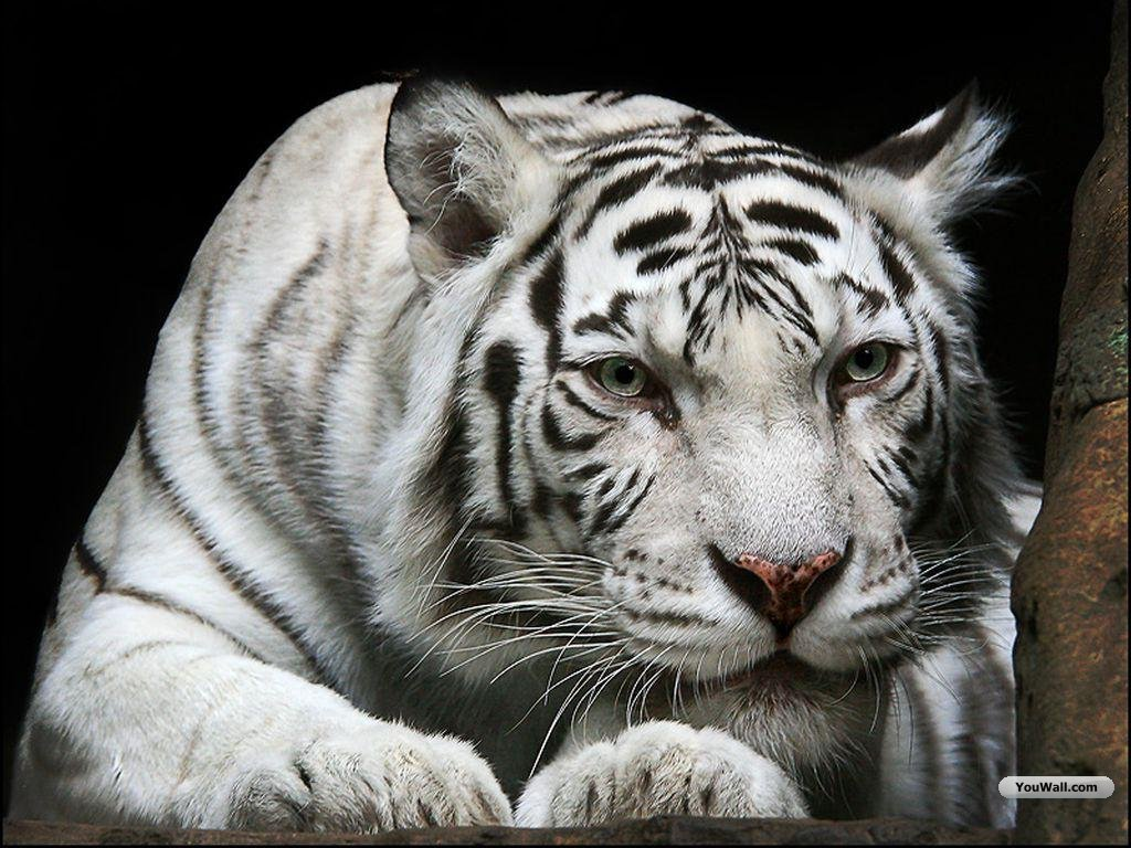 Cool White Tigers Wallpaper Widescreen White Tiger Wallpaper Free Download 1024x768 Wallpaper Teahub Io