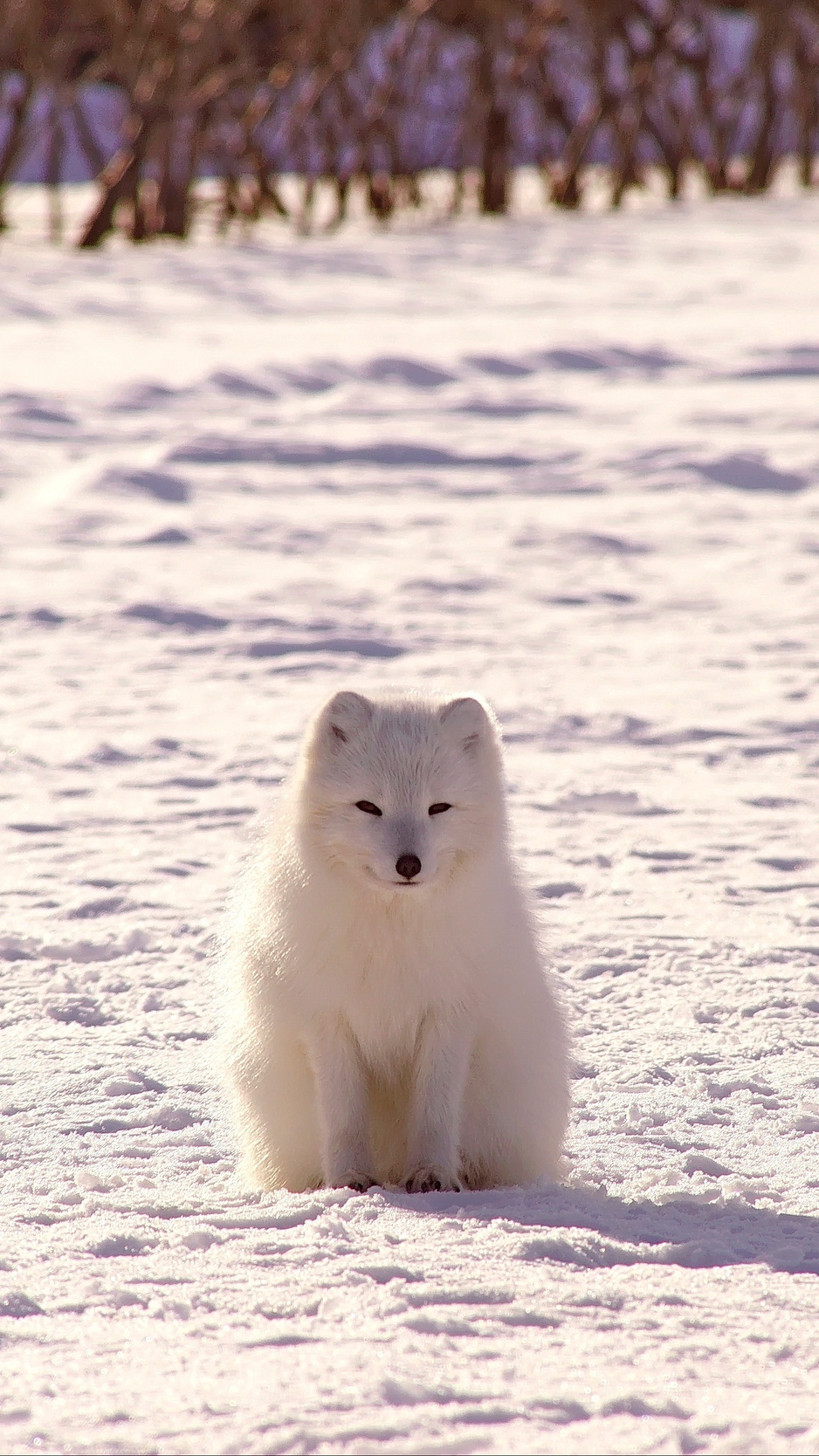 Wallpaper Polar Fox Arctic Fox Snow Iphone Arctic Fox Wallpaper Hd 938x1668 Wallpaper Teahub Io