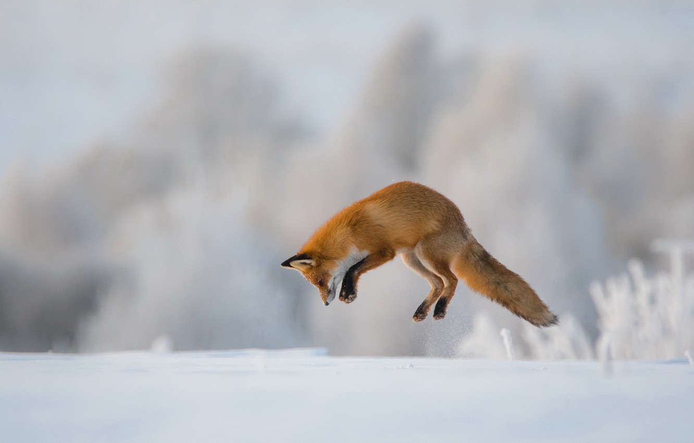 Photo Wallpaper Winter, Jump, Fox, Hunting - Animals Jumping Fox - HD Wallpaper