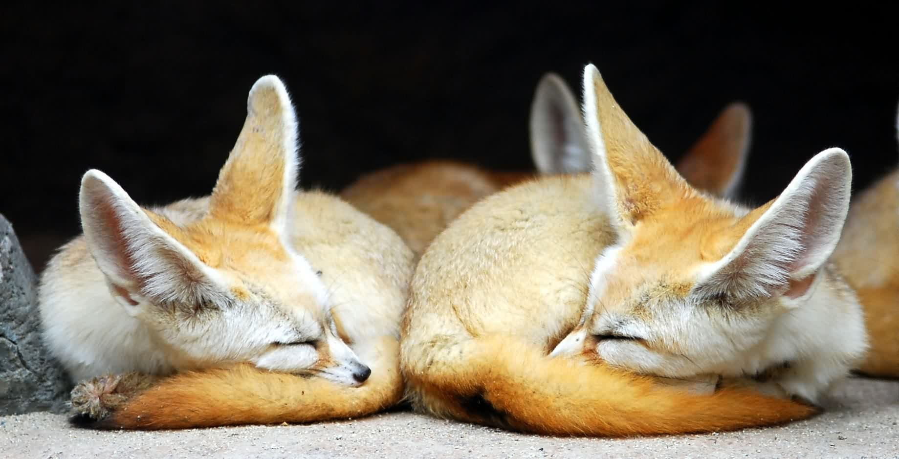 Fennec Fox Wallpapers Hd 1839x939 Wallpaper Teahub Io