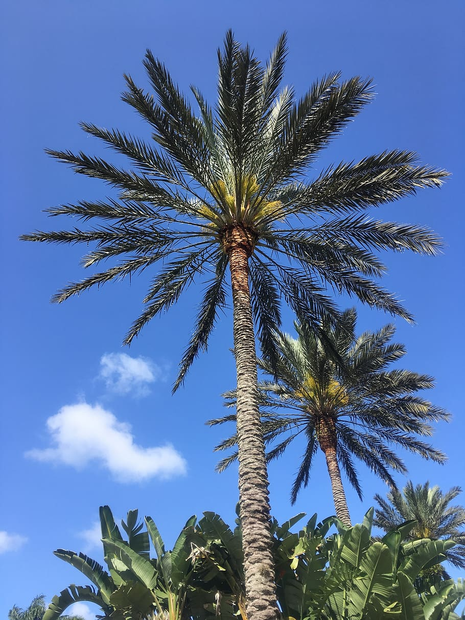 Florida, Sky, Tropical, Palm, Tree, Sunny, Blue Sky, - Attalea Speciosa - HD Wallpaper