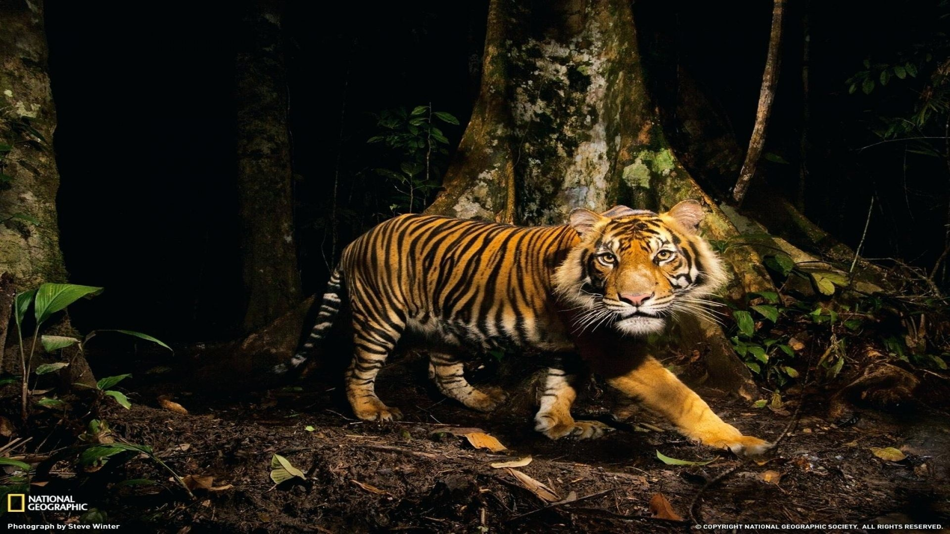 1920x1080, Forest Animal Wallpaper Full Nature Wallpapers - National Geographic Tiger Photography - HD Wallpaper
