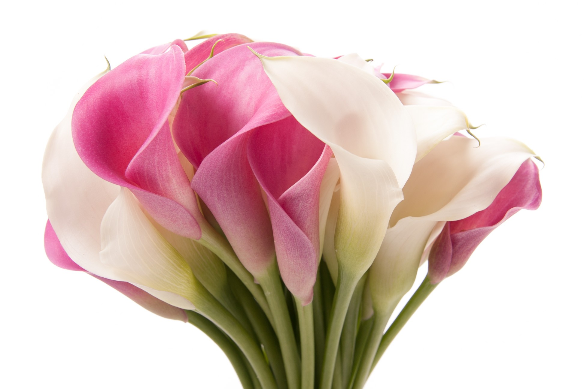Pink And White Calla Lily 1944x1296 Wallpaper Teahub Io