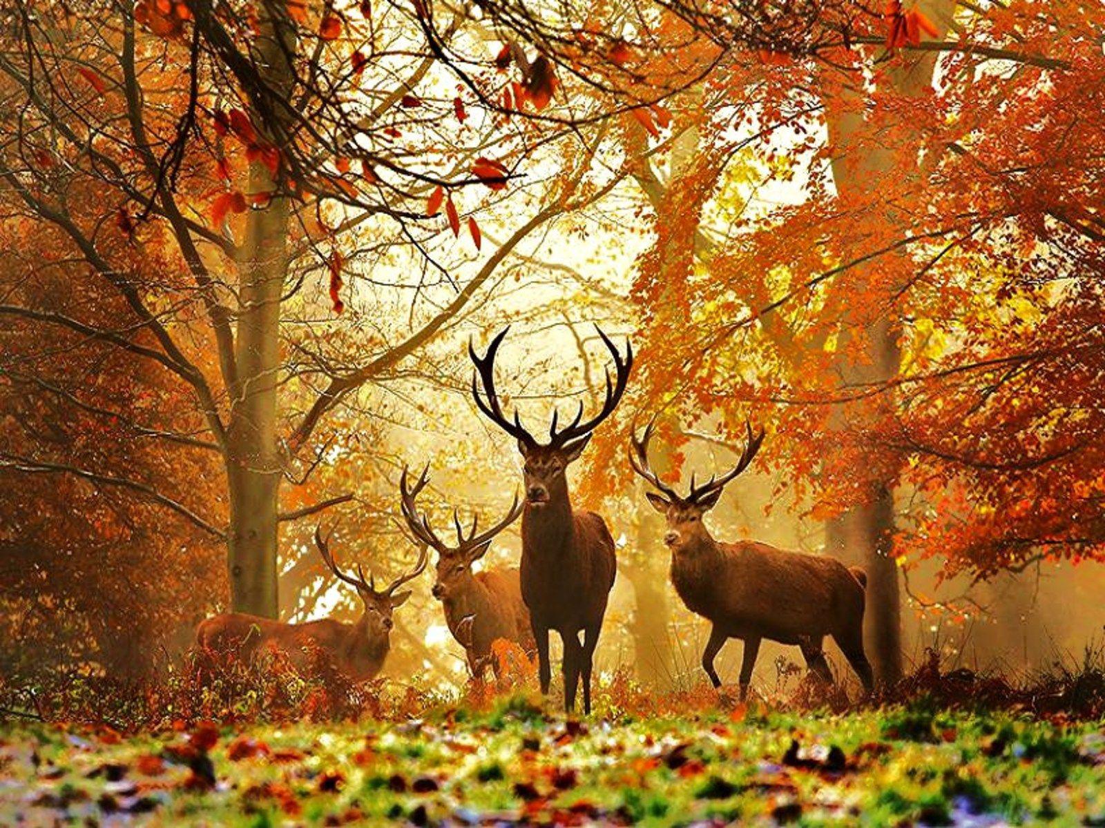 Amazing Deer Wallpaper Hd For Desktop - Beautiful Scenery With Animals - HD Wallpaper