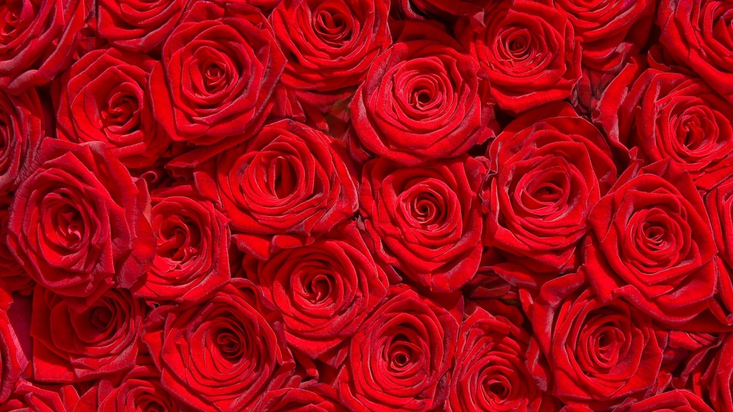 2560x1440, Red Rose Flower Garden Wallpaper   Data - Rose Wallpaper Hd Flowers - HD Wallpaper