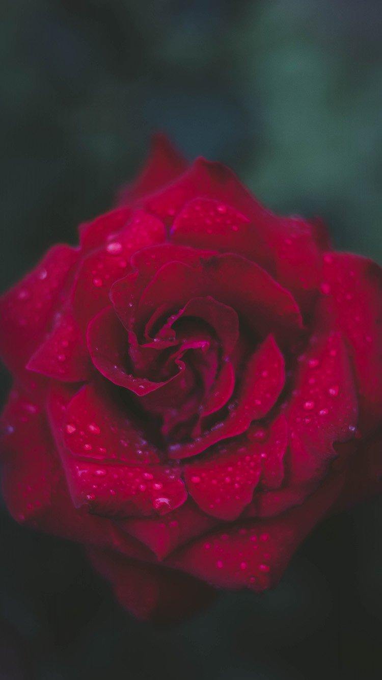 Com Apple Iphone7 Iphone7plus Wallpaper Nv54 Rose Red - Iphone 8 Plus Roses - HD Wallpaper