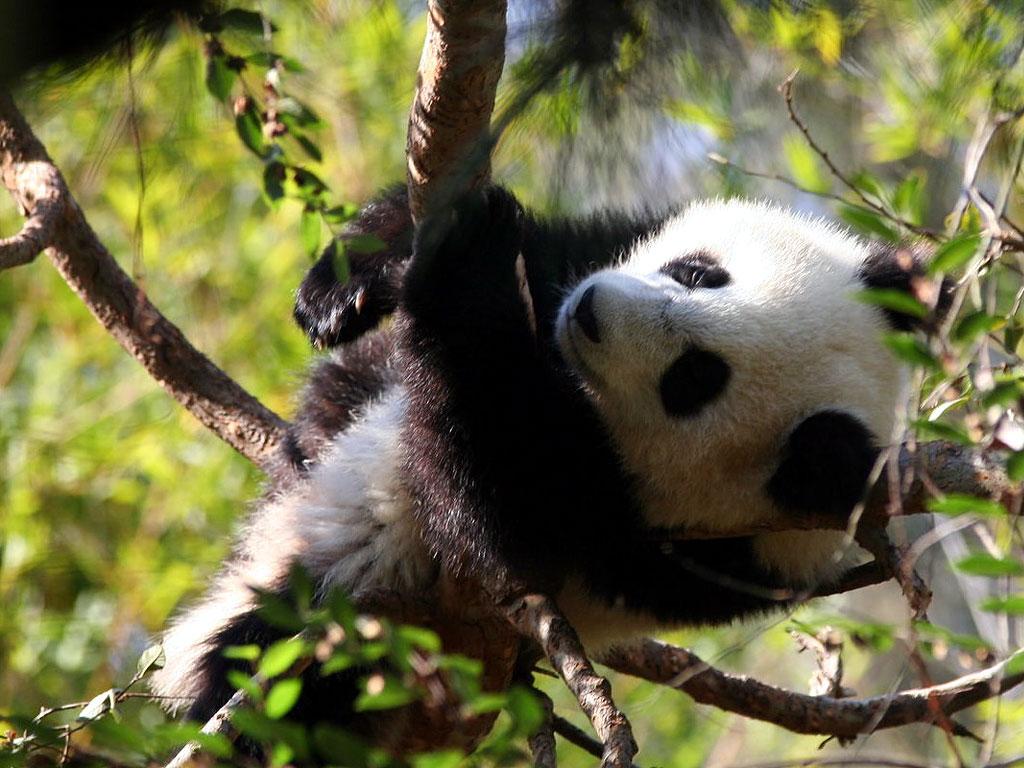 Baby Panda 1024x768 Wallpaper Teahub Io